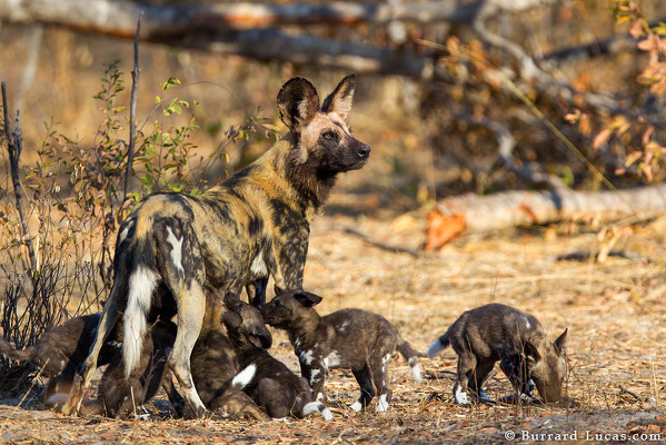Wild Dog Puppies
