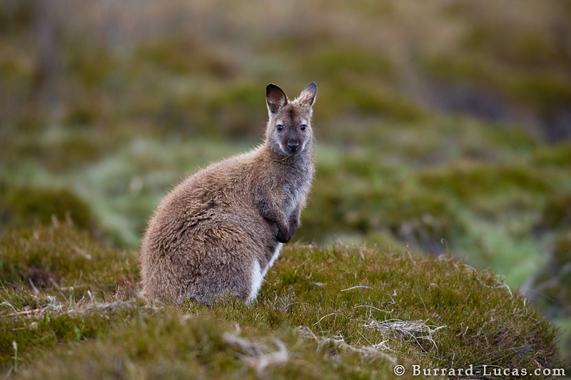 Image result for wallaby photography