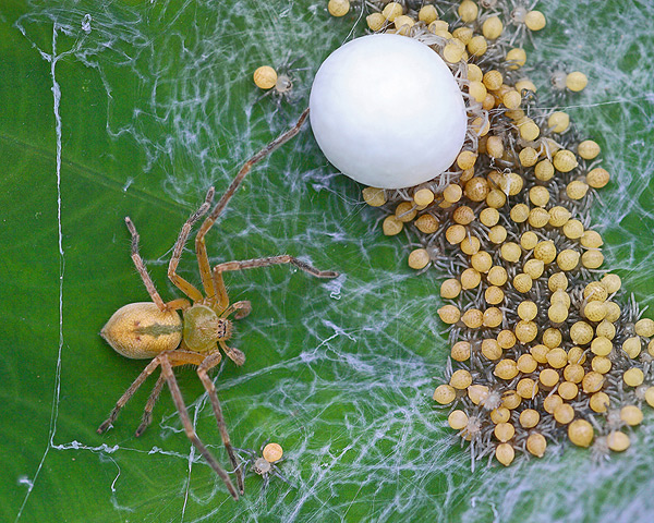 Spider with Newly Hatched Babies