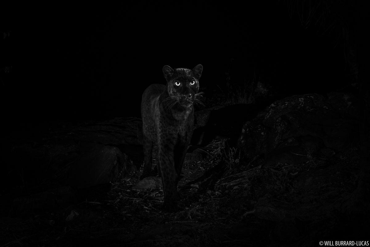 https://img.burrard-lucas.com/blog/normal/black_leopard_2019.jpg
