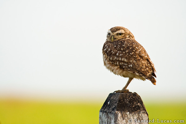 Burrowing Owl Perched