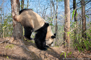 A panda scent-marking a tree. The higher they mark the tree, the larger they appear to rivals, hence the handstand!