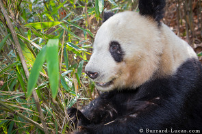 A wild giant panda feeding on bamboo.