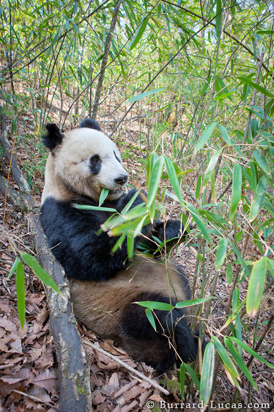A giant panda doing what it does best... eating bamboo!