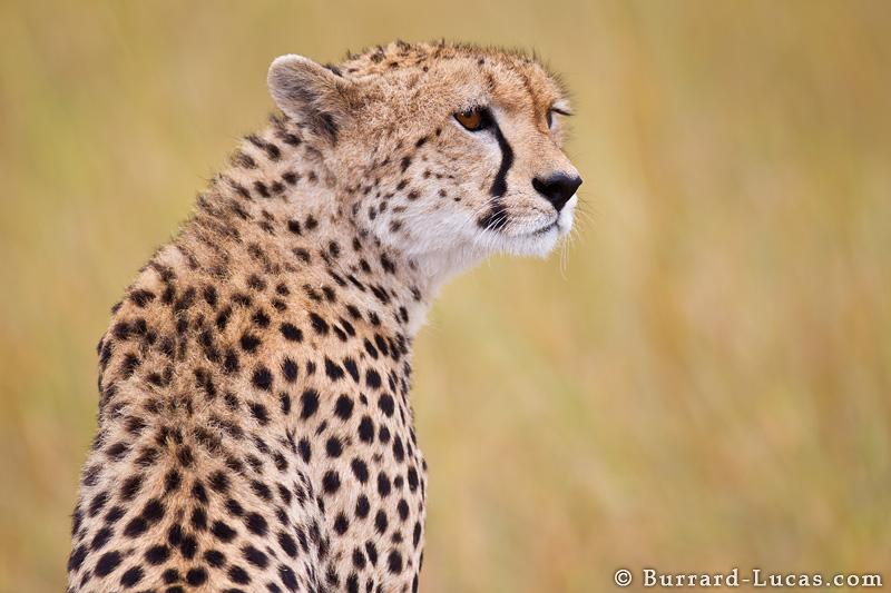 Cheetah Portrait - Burrard-Lucas Photography