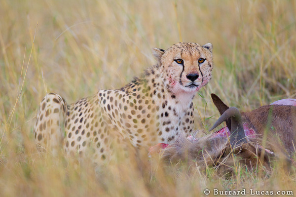 Cheetah Eating Wildebeest