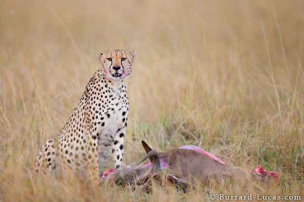 Cheetah Wildebeest Kill