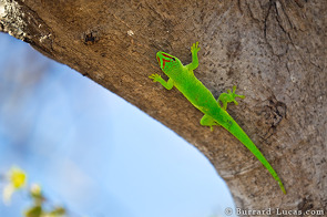 Bright Green Day Gecko