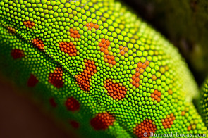 Day Gecko Back Texture