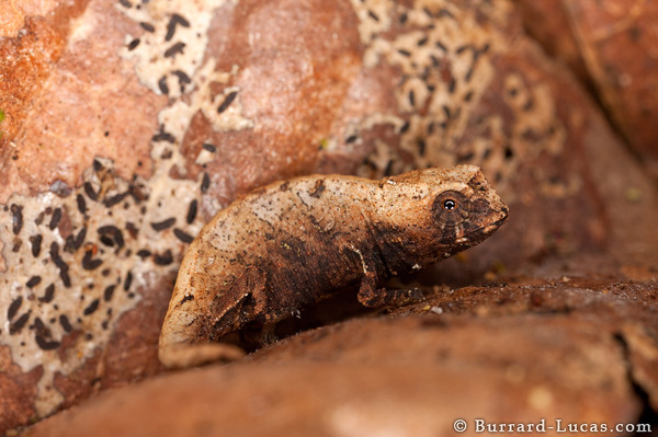 Brookesia on Leaf