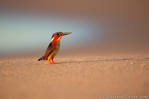 Kingfisher on Beach