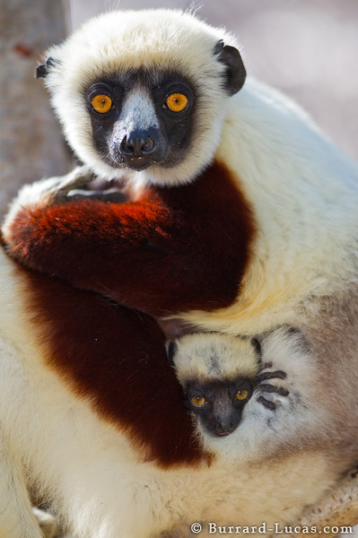Mother and Baby Sifakas