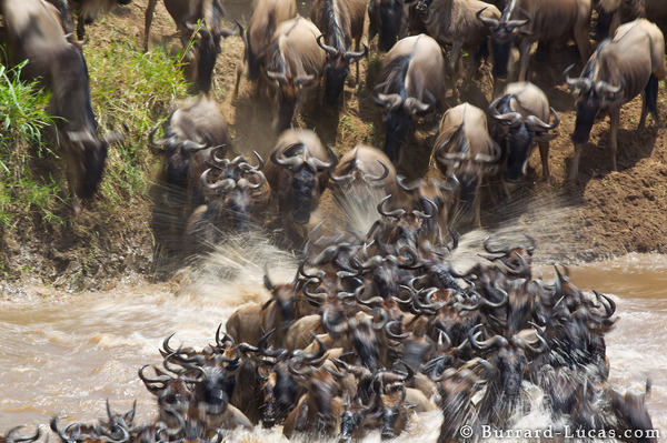 River Crossing Wildebeest