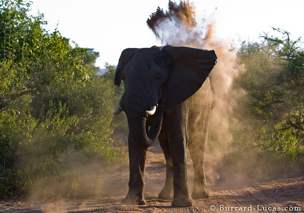 Elephant Throwing Sand